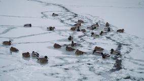 Οι πάπιες κολυμπούν στη χειμερινή λίμνη απόθεμα βίντεο