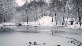 Οι πάπιες κολυμπούν στη χειμερινή λίμνη φιλμ μικρού μήκους