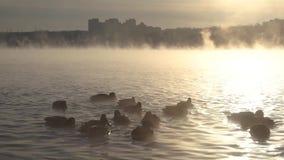 Οι πάπιες κολυμπούν στον ποταμό στην ομίχλη απόθεμα βίντεο