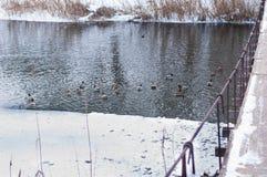 Οι πάπιες κολυμπούν στο νερό Στοκ Εικόνες