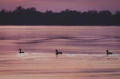 Οι πάπιες κολυμπούν στο σούρουπο στη λιμνοθάλασσα Manialtepec Στοκ φωτογραφία με δικαίωμα ελεύθερης χρήσης