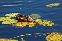 Οι πάπιες κολυμπούν στη λίμνη Στοκ εικόνες με δικαίωμα ελεύθερης χρήσης