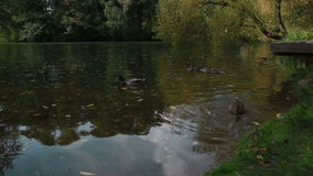 Οι πάπιες κολυμπούν στη λίμνη απόθεμα βίντεο