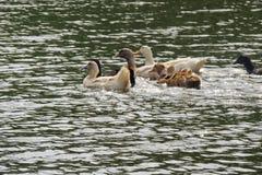 Οι πάπιες κολυμπούν στο νερό Στοκ φωτογραφία με δικαίωμα ελεύθερης χρήσης
