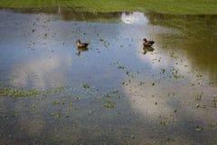 Οι πάπιες κολυμπούν στο πλημμυρισμένο πάρκο Στοκ Φωτογραφία