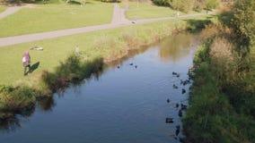 Οι πάπιες λούζουν στον ποταμό στο πάρκο την ηλιόλουστη ημέρα Τοπ όψη απόθεμα βίντεο