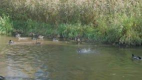 Οι πάπιες λούζουν στον ποταμό στο πάρκο την ηλιόλουστη ημέρα φιλμ μικρού μήκους