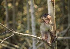 Οι πίθηκοι αναρριχούνται στα δέντρα/πίθηκος/οικογένεια πιθήκων Στοκ Φωτογραφίες