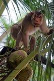 Οι πίθηκοι εκπαίδευσαν να μαδήσουν τις καρύδες (Kelantan, Μαλαισία) Στοκ Φωτογραφία