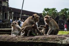 Οι πίθηκοι σε Angkor Wat στην Καμπότζη ` s Siem συγκεντρώνουν την περιοχή Στοκ Εικόνες