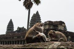 Οι πίθηκοι σε Angkor Wat στην Καμπότζη ` s Siem συγκεντρώνουν την περιοχή Στοκ Φωτογραφία