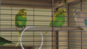 Οι παπαγάλοι καθαρίζουν απόθεμα βίντεο