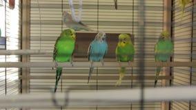 Οι παπαγάλοι κλουβιών πουλιών απόθεμα βίντεο