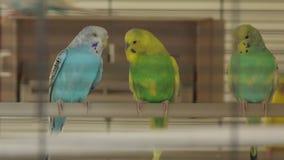 Οι παπαγάλοι υπολοίπων απόθεμα βίντεο