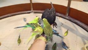 Οι παπαγάλοι πουλιών κάθονται σε διαθεσιμότητα και τρώνε απόθεμα βίντεο