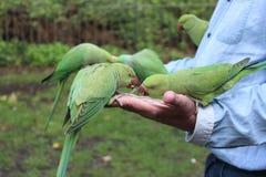 Οι παπαγάλοι τρώνε Στοκ Εικόνα