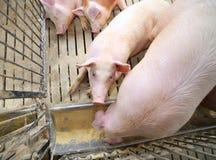 οι παχιοί χοίροι και οι θηλυκοί χοίροι τρώνε στο ζωικό κεφάλαιο του αγροκτήματος Στοκ φωτογραφίες με δικαίωμα ελεύθερης χρήσης