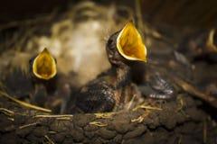 Οι πεινασμένοι νεοσσοί στη φωλιά καταπίνουν Στοκ εικόνες με δικαίωμα ελεύθερης χρήσης