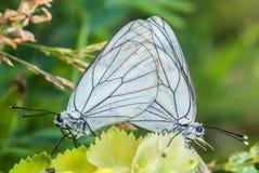 Οι πεταλούδες ερωτοτροπίας, που συνδέονται, πεταλούδα στις εγκαταστάσεις, κλείνουν επάνω στοκ φωτογραφία
