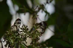Οι πεταλούδες με βλέπουν μέσω των φτερών Στοκ Εικόνες
