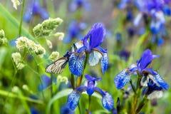 Οι πεταλούδες με τα άσπρα φτερά κάθονται στο λουλούδι ίριδων Στοκ φωτογραφία με δικαίωμα ελεύθερης χρήσης
