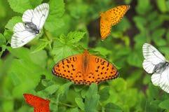 οι πεταλούδες Στοκ Φωτογραφία