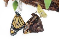Οι πεταλούδες γεννήθηκαν από τα κουκούλια Στοκ φωτογραφία με δικαίωμα ελεύθερης χρήσης