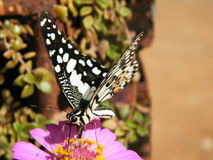 Οι πεταλούδες τρώνε τη γύρη Στοκ Εικόνες