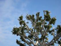 Οι πελαργοί στηρίζονται τις φωλιές σε ένα δέντρο σε Malibu στοκ φωτογραφία με δικαίωμα ελεύθερης χρήσης