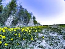 Οι πικραλίδες έχουν φθάσει Στοκ φωτογραφία με δικαίωμα ελεύθερης χρήσης