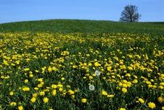 οι πικραλίδες αναπηδούν κίτρινο Στοκ εικόνα με δικαίωμα ελεύθερης χρήσης
