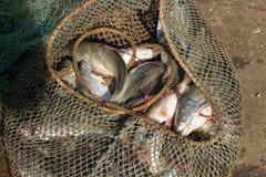 Οι πλούσιοι πιάνουν Συγκρατημένο γέλιο ψαριών με τα φρέσκα ψάρια Στοκ φωτογραφίες με δικαίωμα ελεύθερης χρήσης