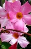 Οι πολλές σκιές του ροζ 2 στοκ εικόνες