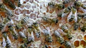 Οι πολυάσχολες μέλισσες, κλείνουν επάνω την άποψη των μελισσών εργασίας στην κηρήθρα φιλμ μικρού μήκους