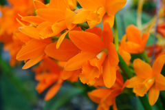 Οι πορτοκαλιές ορχιδέες κλείνουν επάνω Στοκ Εικόνες