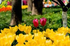 Οι πορφυρές τουλίπες στις κίτρινες τουλίπες καλλιεργούν Στοκ φωτογραφία με δικαίωμα ελεύθερης χρήσης