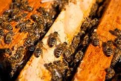 Οι πολυάσχολες μέλισσες, κλείνουν επάνω την άποψη των μελισσών εργασίας στην κηρήθρα Στοκ Φωτογραφία