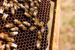 Οι πολυάσχολες μέλισσες, κλείνουν επάνω την άποψη των μελισσών εργασίας στην κηρήθρα Στοκ Φωτογραφίες