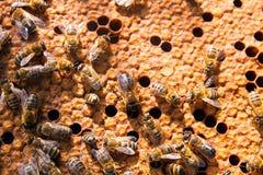Οι πολυάσχολες μέλισσες, κλείνουν επάνω την άποψη των μελισσών εργασίας στην κηρήθρα Στοκ Εικόνες