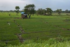 Οι πολύβλαστοι πράσινοι τομείς ρυζιού κάθονται δίπλα στη δεξαμενή ή τη δεξαμενή Sigiriya σε Sigiriya στη Σρι Λάνκα Στοκ φωτογραφία με δικαίωμα ελεύθερης χρήσης