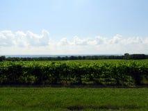 Οι πράσινες άμπελοι σταφυλιών αυξάνονται κάτω από τον καυτό θερινό ήλιο FingerLakes στοκ εικόνες