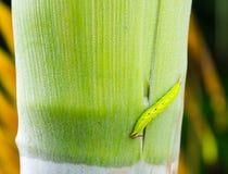 Οι πράσινες αναβάσεις του Caterpillar είναι στο Areca δέντρο καρυδιών Στοκ Εικόνες