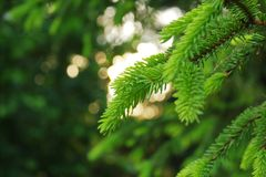 οι πράσινες βελόνες έφαγαν λαμβάνοντας υπόψη τον ήλιο βραδιού στοκ εικόνες με δικαίωμα ελεύθερης χρήσης