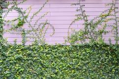 Οι πράσινες εγκαταστάσεις αναρριχητικών φυτών στο ρόδινο ξύλινο τοίχο για το υπόβαθρο Στοκ εικόνες με δικαίωμα ελεύθερης χρήσης