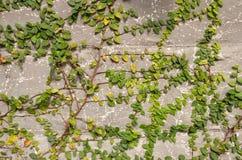 Οι πράσινες εγκαταστάσεις αναρριχητικών φυτών Στοκ Εικόνα