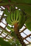 Οι πράσινες μπανάνες αυξάνονται στο βάρος πρός τα πάνω Στοκ Φωτογραφία
