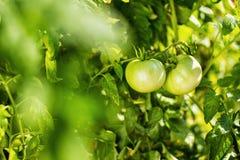 Οι πράσινες ντομάτες κρεμούν σε έναν κλάδο Στοκ Εικόνες