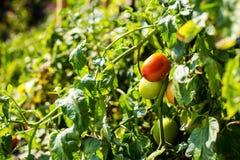 Οι πράσινες ντομάτες κρεμούν σε έναν κλάδο Στοκ εικόνες με δικαίωμα ελεύθερης χρήσης
