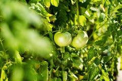 Οι πράσινες ντομάτες κρεμούν σε έναν κλάδο Στοκ φωτογραφία με δικαίωμα ελεύθερης χρήσης