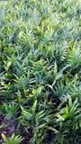 Οι πράσινες φτέρες μοιάζουν με αυτοί κυματίζουν σε σας από ένα κρεβάτι δονούμενου πράσινου Στοκ Εικόνα